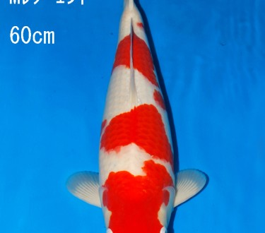 Sakai Auction (2)