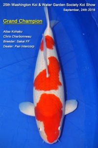 Wk wgs koi show champions 2016 for Grand champion koi for sale