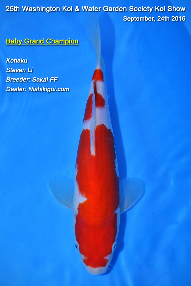 Baby grand champion for Grand champion koi for sale