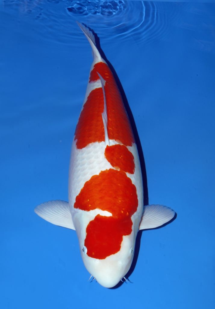 All japan show grand champion for Grand champion koi for sale