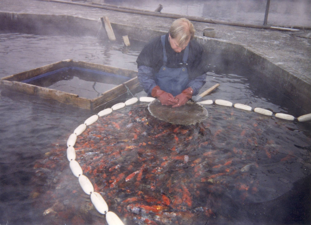 Selectin Koi in the winter