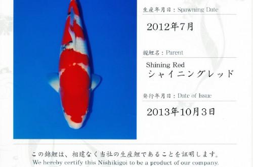 Shining Red Sanke